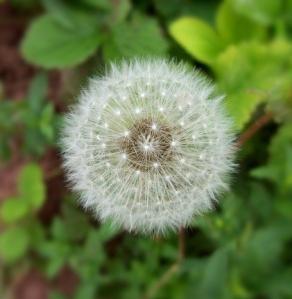 Les allergies de printemps et l'aromathérapie