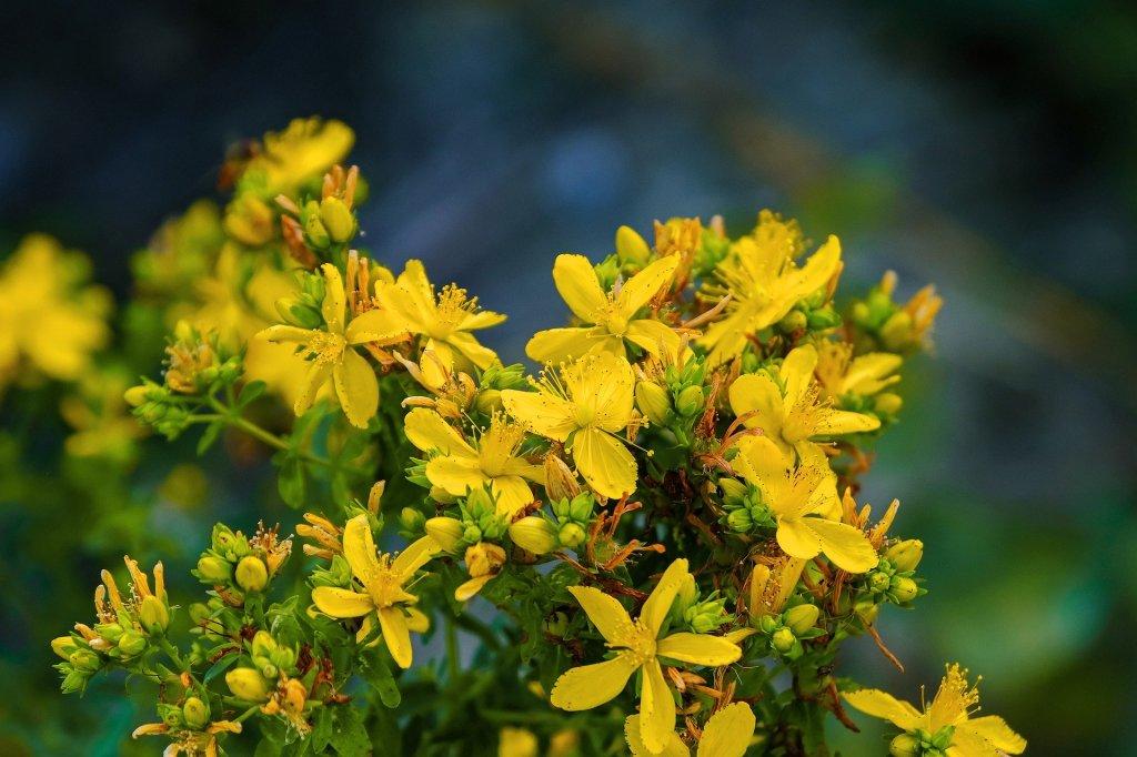 fleurs jaunes de millepertuis